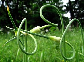 Elizabeth Keihm - garlic scapes